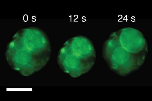 Dr Pierangelo Gobbo, Uni of Bristol Snapshots of video images showing a single cluster of artificial cells exhibiting a single beat-like oscillation as the temperature was changed above or below 37 ⁰C; scale bar, 50 μm.