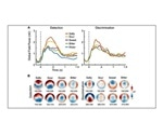 Study provides insight into how the brain rapidly identifies sweet and bitter flavors