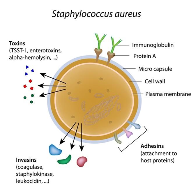 Staphylococcus aureus bacterium. Image Credit: Alila Medical Media / Shutterstock