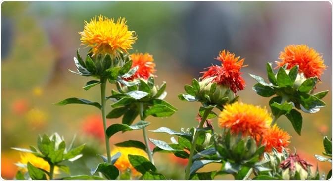 Safflower. Image Credit: High Mountain / Shutterstock
