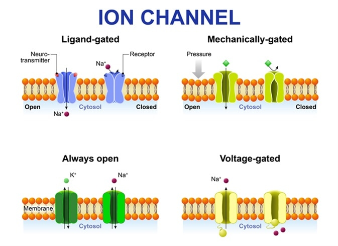 Types of ion channel. Classification by gating. mechanism of action. Voltage-Gated, Ligand-gated, Mechanically-gated and Always open ion channels. Image Credit: Designua / Shutterstock