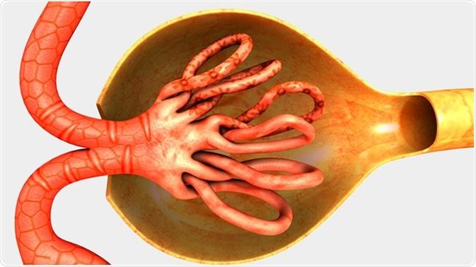 Nephrons 3d illustration. Image Credit: Sciencepics / Shutterstock