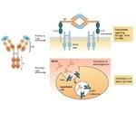 经pr验证的Fc受体蛋白的关键特征