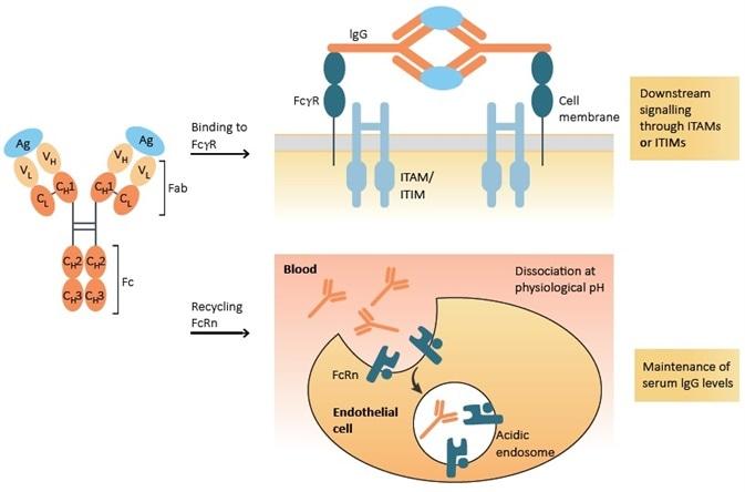 Function of Fc receptor