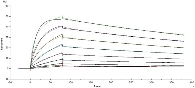 Immobilized Human Fc gamma RI/CD64, His Tag (Cat. No. FCA-H52H2) on CM5 Chip via anti-His antibody, can bind Herceptin with an affinity constant of 5.45 nM as determined in a SPR assay (Baicore T200).