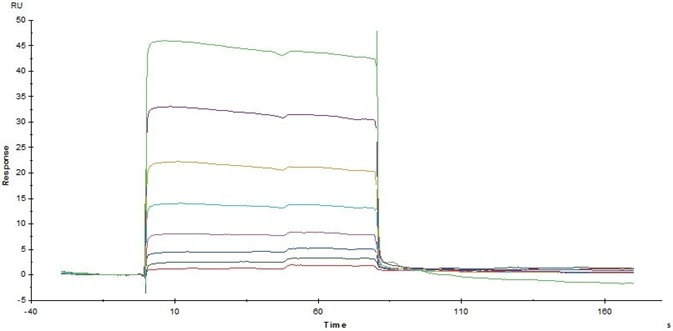 Immobilized Human CD32a (R167) (Cat. No. CDA-H5221) on CM5Chip via anti-His antibody, can bind Rituximab with an affinity constant of 3.12 μM as determined in SPR assay (Biacore T200).