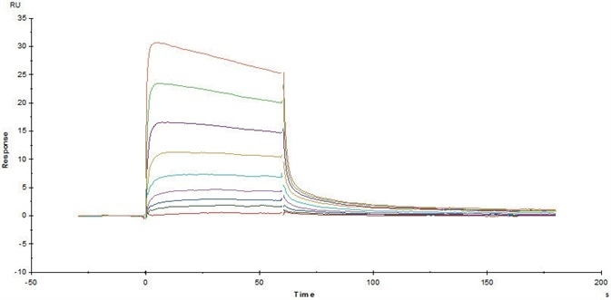 Immobilized Human FcRn/FCGRT & B2M Heterodimer Protein (Cat. No. FCM-H5286) on CM5 Chip via anti-His antibody, can bind Herceptin with an affinity constant of 0.489 μM as determined in a SPR assay (Biacore T200).