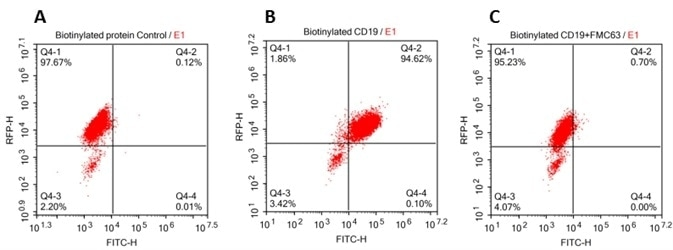 293 cells were transfected with FCM63-scFv and RFP tag. 2x105 of the cells were first incubated with A. Biotinylated protein control. B. Recombinant biotinylated human CD19 (Cat. No. CD9-H8259, 10ug/ml). C. Recombinant biotinylated human CD19 (Cat. No. CD9-H8259, 10 µg/ml) and FMC63(Mouse anti-CD19 antibody). FITC Streptavidin was used to analyze with FACS. RFP was used to evaluate CAR(FMC63-scFv) expression and FITC was used to evaluate the binding activity of recombinant biotinylated human CD19 (Cat. No. CD9-H8259).