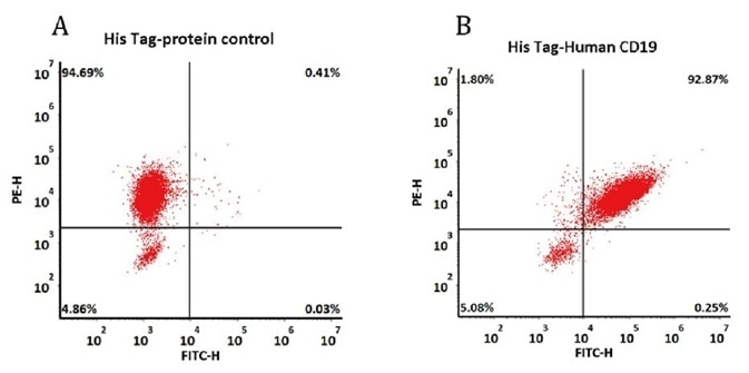 293 cells were transfected with FMC63-scFv and RFP tag. 2e5 of the cells were first incubated with A. His Tag-protein control. B. Recombinant human CD19, His Tag (Cat. No. CD9-H52H2, 10 μg/ml). The FITC Anti-6xHis tag antibody was used to analyze with FACS. RFP was used to evaluate CAR(FMC63-scFv) expression and FITC was used to evaluate the binding activity of recombinant human CD19, His Tag (Cat. No. CD9-H52H2).