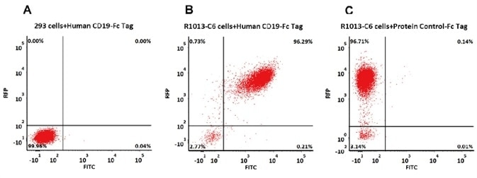 293 cells were transfected with FMC63-scFv and RFP tag. 2e5 of the cells were first stained with B. Human CD19 (20-291) Protein, Fc Tag, low endotoxin (Super affinity) (Cat. No. CD9-H5251, 3 µg/ml) and C. Human Fc Tag Protein Control, followed by FITC-conjugated Anti-human IgG Fc Antibody. A. Non-transfected 293 cells and C. Human Fc Tag Protein Control were used as negative control. RFP was used to evaluate CAR (anti-CD19-scFv) expression and FITC was used to evaluate the binding activity of Human CD19 (20-291) Protein, Fc Tag, low endotoxin (Super affinity) (Cat. No. CD9-H5251).