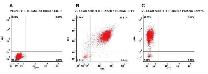 293 cells were transfected with anti-CD19-scFv and RFP tag. 2e5 of the cells were stained with B. FITC-labeled Human CD19 (20-291), Fc Tag (Cat. No. CD9-HF251, 10 µg/ml) and C. FITC-labeled protein control. A. Non-transfected 293 cells and C. FITC-labeled protein control were used as negative control. RFP was used to evaluate CAR (anti-CD19-scFv) expression and FITC was used to evaluate the binding activity of FITC-labeled Human CD19 (20-291), Fc Tag (Cat. No. CD9-HF251).