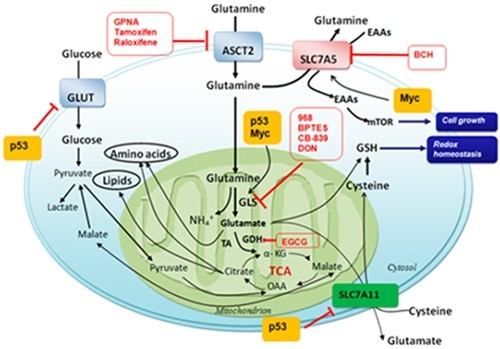 Glutamine and the metabolism of other amino acids as targets for cancer therapy. (Int J Mol Sci 2015;16:22830–22855; doi:10.3390/ijms160922830)