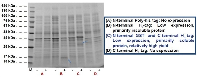 HIV-1 PR was expressed in E. coli using different affinity tags: (A) N-terminal Poly-his tag, (B) N-terminal H6 -tag, (C) N-terminal GST- and C-terminal H6 -tag, and (D) C-terminal H6 -tag. Blue colored arrows indicate the corresponding position of the fusion protein on the SDS-PAGE.