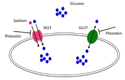 Glucose Uptake in cells can be carried out in two ways: Na + dependent transporter, also called: SGLT (an active process which requires ATP) and Na + independent transport, also called GLUT. Phloretin, a dihydrochalcone, is a natural phenol capable of inhibiting cellular glucose active transport.