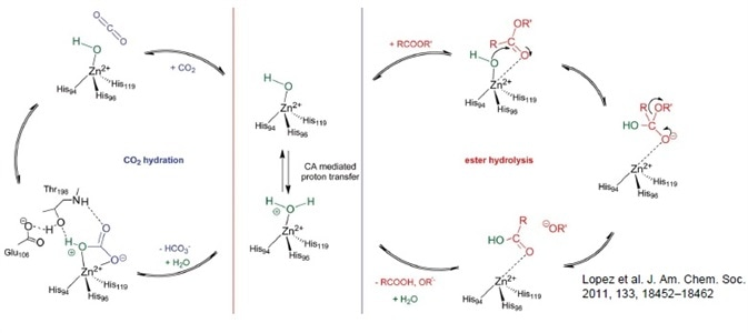 Catalytic cycle for human CA II catalyzed: (a) hydration of CO2 to HCO3 and H+ and (b) ester hydrolysis to carboxylic acid and alkoxide.