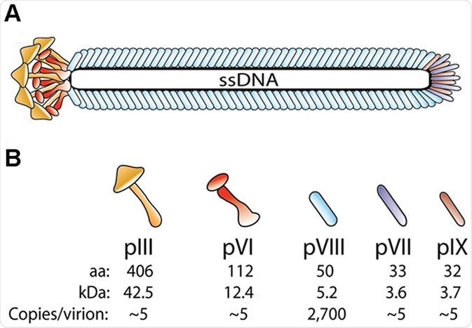 Phage structure