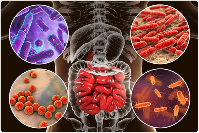 Intestinal microbiome, bacteria colonizing different parts of digestive system, Bifidobacterium, Lactobacillus, Enterococcus and Escherichia coli, 3D illustration. Image Credit: Kateryna Kon / Shutterstock