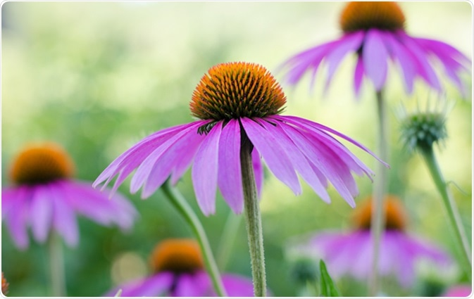 Echinacea purple. A perennial plant of the Asteraceae family. Medicinal flower to enhance immunity. Image Credit: Mitand73 / Shutterstock