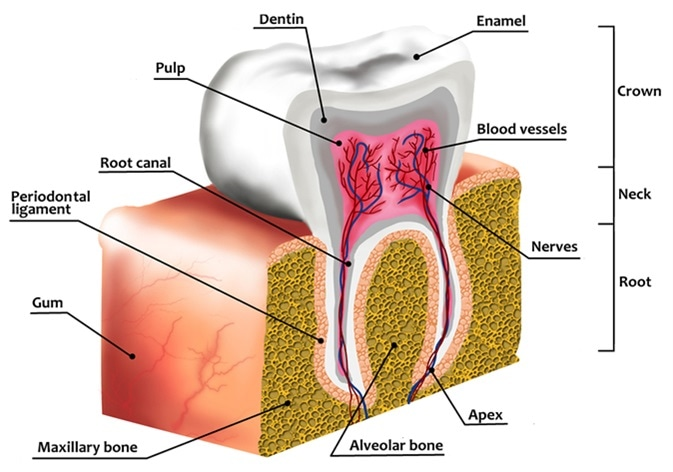 Human tooth decay anatomy diagram with description. Illustration of tooth cross section. Image Credit: Cessna152 / Shutterstock