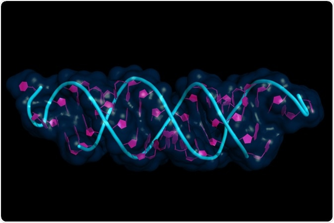 Small interfering RNA bound to a messenger RNA, illustration model with semi-transparent surface. siRNAs are synthetic RNA interference tools used for inducing temporary reduction of mRNA expression. Image Credit: Petarg / Shutterstock