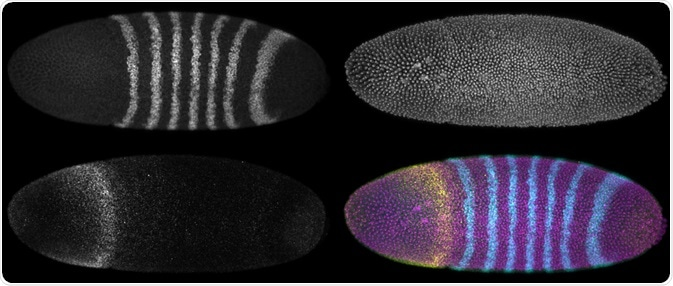 A developing Drosophila melanogaster embryo with three different fluorescence reporters. Maximum intensity projections. - Micha Weber