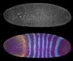 In vivo Fluorescence Microscopy