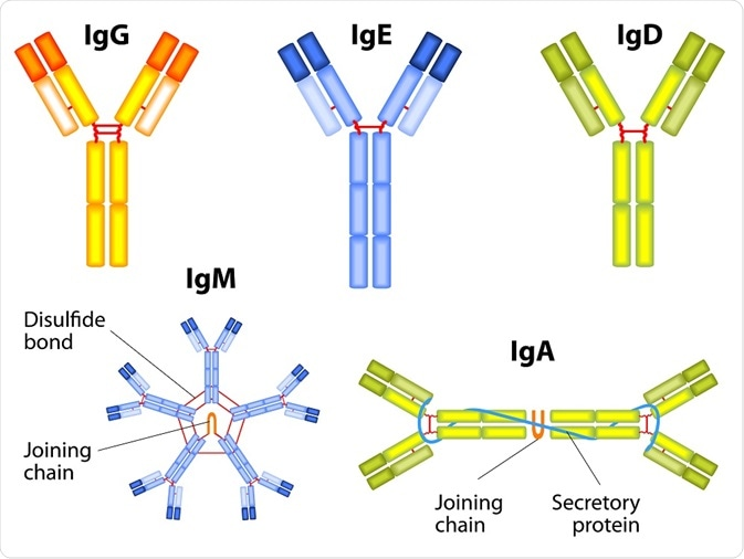 Structure of IgE, IgG, IgD, IgM and IgA
