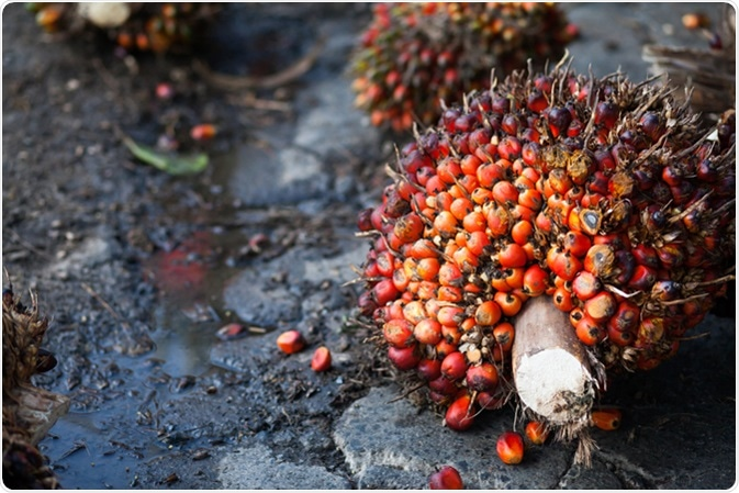 Palm Oil Fruits on the palm tree. Image Credit: MIA Studio / Shutterstock