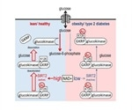 Researchers uncover novel therapeutic target for type 2 diabetes