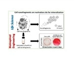 Cell membrane nanofragments can act as nucleation sites for mineralization during bone formation
