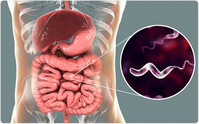 Bactéries de Campylobacter dans l