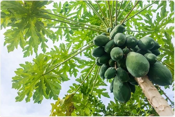 The papaya tree with fruits. Image Credit: Worayoot Wongnin / Shutterstock