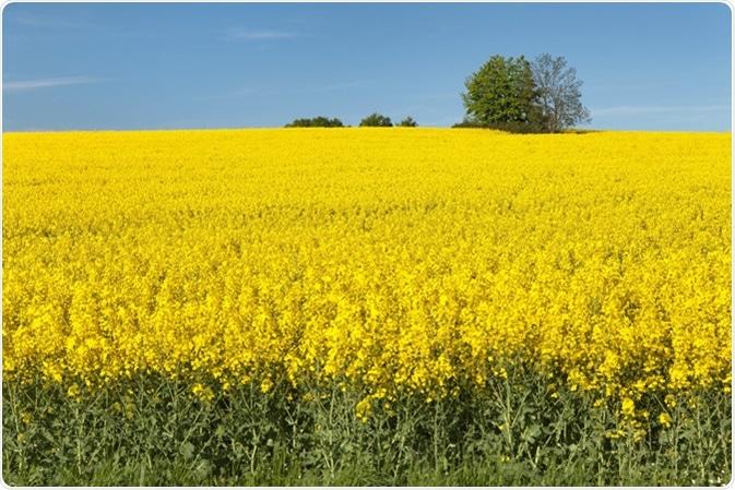 Brassica napus. Image Credit: Daniel Prudek / Shutterstock