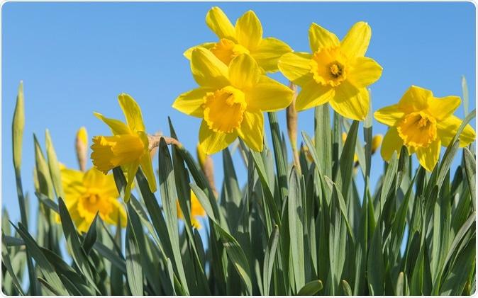 Daffodils - Image Credit: Servickuz / Shutterstock