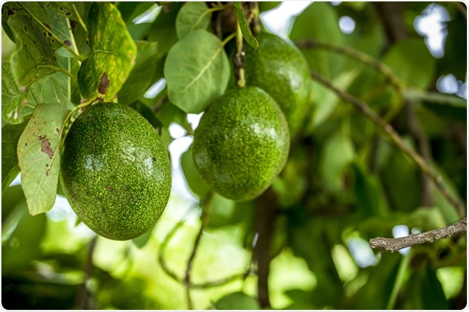 The avocado (Persea americana) is a tree that is native to South Central Mexico, classified as a member of the flowering plant family Lauraceae. Image Credit: Ninja Artist / Shutterstock