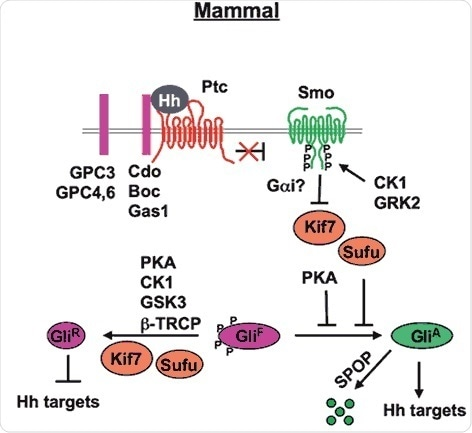 Mammal Hh signal transduction pathway (Chen and Jiang, 2013). The mature Hh molecule reaches Hh receiving cells by binding with HSPGs (such as GPC3, GPC4 and GPC6). In the absence of Hh, Ptc inhibits Smo allowing Gli to be phosphorylated by PKA, CK1 and GSK3. These phosphorylation events target Gli to a partial proteolytic cleavage (mediated by β-TRCP) to generate the repressor form (Gli-R). In the presence of Hh, binding of Hh to its receptor Ptc and co-receptor Cdo releases Ptc inhibition on Smo, which undergoes phosphorylation by mainly CK1 and GRK2. Consequently, Smo accumulates at the cell surface (within the cilia). Sufu is the major negative regulator of the pathway (kif7 is a minor one). In the presence of Hh, Sufu destabilization and degradation allows the release of its repression on Gli, with consequent pathway activation.