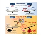 Researchers show how Spred1 molecule protects HSC homeostasis under diet-induced stress