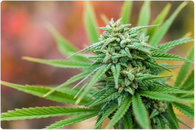 Marijuana plant flowering outdoors. Image Credit: Yarygin / Shutterstock