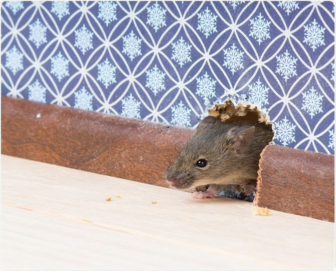 House mouse (Mus musculus). Image Credit: IrinaK / Shutterstock