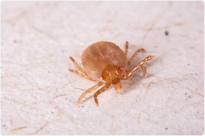 Tick. Image Credit: Tacio Philip Sansonovski / Shutterstock