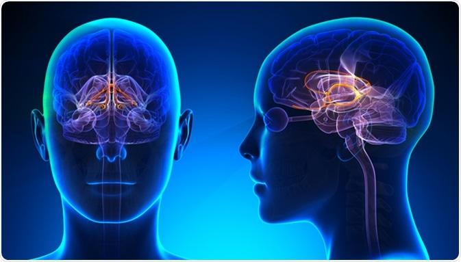 Anatomía femenina del cerebro del sistema límbico - haber de imagen: decade3d - en línea/Shutterstock.com de la anatomía