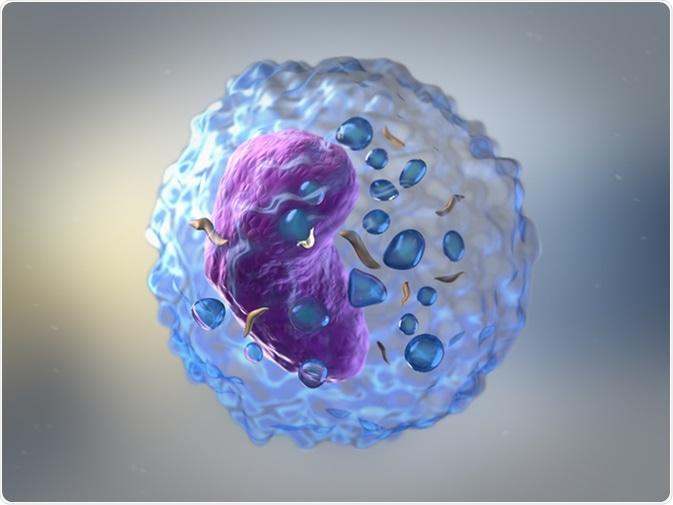 Les lymphocytes sont des globules blancs ou des leucocytes dans le système immunitaire humain les cellules se composantes de B et de T qui forment les anticorps pour l