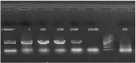 End point PCR results. A dilution series of C. albicansspiked into whole blood