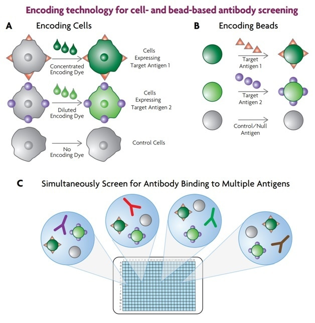 Cellular and soluble antigens can be multiplexed by using encoding technology. In the case of cellular antigens, cells expressing the various homologues are encoded with dye (A). Soluble antigens are attached to dye-encoded beads (B). The encoded cells or beads are combined and added to the screening plate (C) which contains the antibody library, and binding of the antibodies to the different antigens is measured.