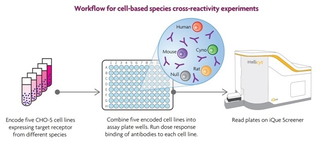 In these experiments, CHO cells were engineered to individually express the same target receptor from different species: human, monkey, rat and mouse (Figure 4). The parent cell line, and lines expressing the species-specific receptors were labeled separately with different concentrations of the encoding dye. The five different cell lines were combined into a single mixture, which was then distributed into wells of the assay plates. After sampling, the differentially encoded cell lines within each well were easily distinguished using ForeCyt software, which enabled the identification of cross reactive antibodies. In these experiments, each 96-well assay plate contained 12 antibodies, tested at 8 concentrations each. Each well contained five encoded cell lines.