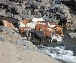 Study finds cattle as possible source of human leptospirosis in Africa