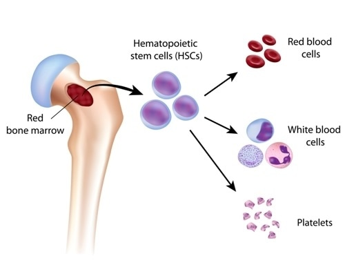 Blood cell formation from bone marrow. Image Credit: Alila Medical Media / Shutterstock