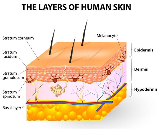 Melanocyte and melanin. layers of epidermis. Melanocytes produce the pigment melanin, which they can then transfer to other epidermal cells. Image Credit: Designua / Shutterstock