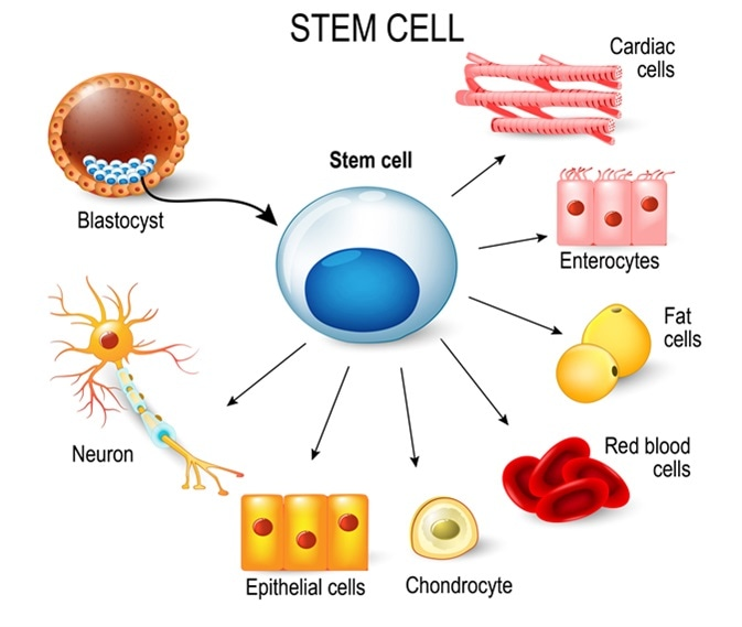 Stem cells. These inner cell mass from a blastocyst. These stem cells can become any tissue in the body. for example: neuron, chondrocyte, enterocytes, red blood cells, muscle, fat or epithelial cells. Image Credit: Designua / Shutterstock