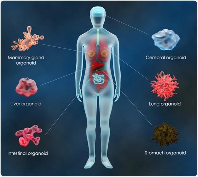 Human organoids. Image Credit: Meletios Verras / Shutterstock